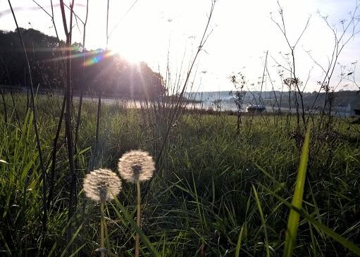 fleur-pissenlit-reduite